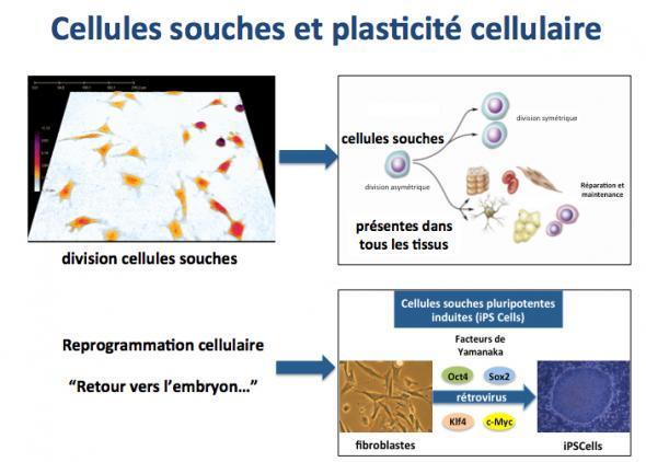 Cell souche et plasticite cell