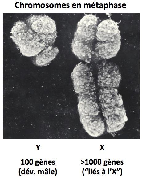 Chromosomes x et y