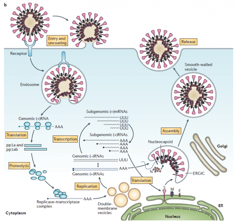 Cycle replication coronavirus selon de wit