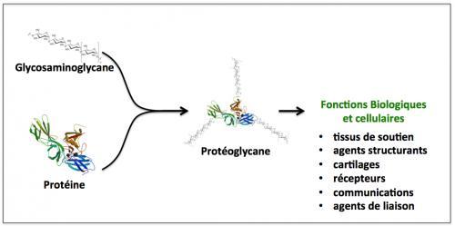 Figure 3 proteoglycane