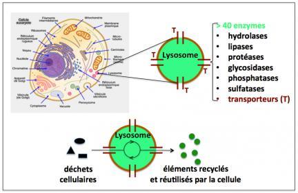 Figure 4 lysosomes