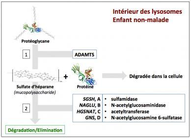 Figure 5 degradation proteoglycanes