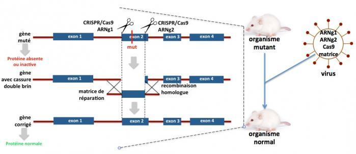 Gene correction par rh
