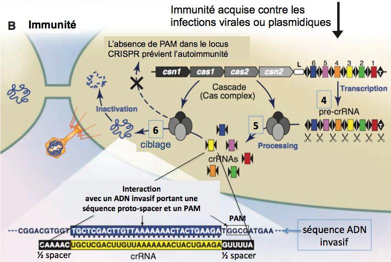 Immunite