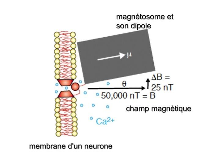 Magnetosomes neurone champ mag