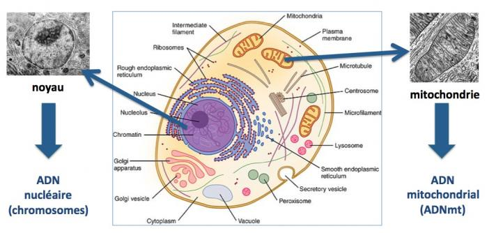 Mitochondrie 1