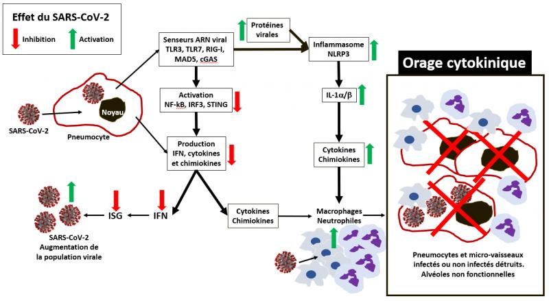 Orage cytokines