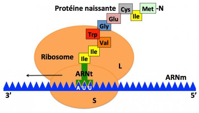 Sche ma ribosome