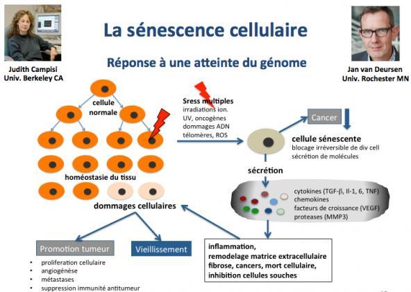 Se nescence cell