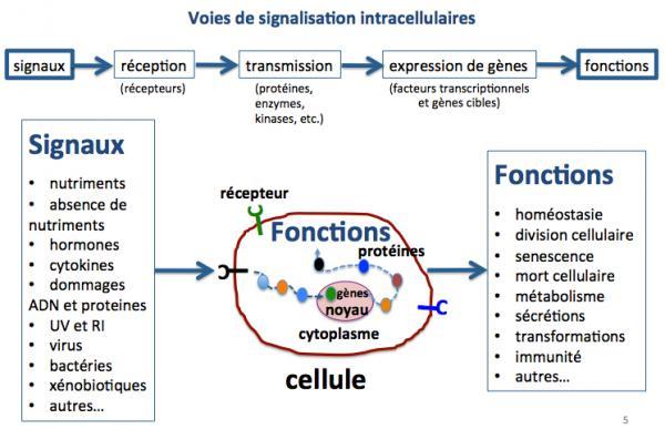Voies de signalisation intracell