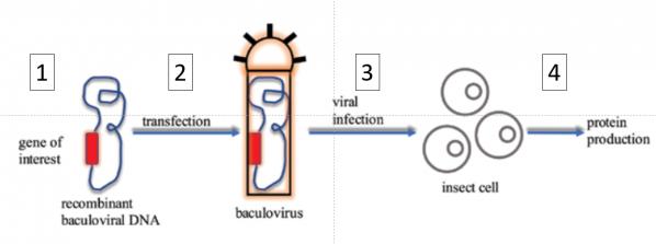 Baculovirus system mishra 2020