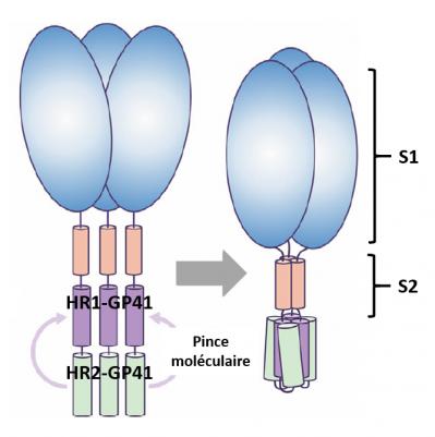 Schema pince moleculaire young et al