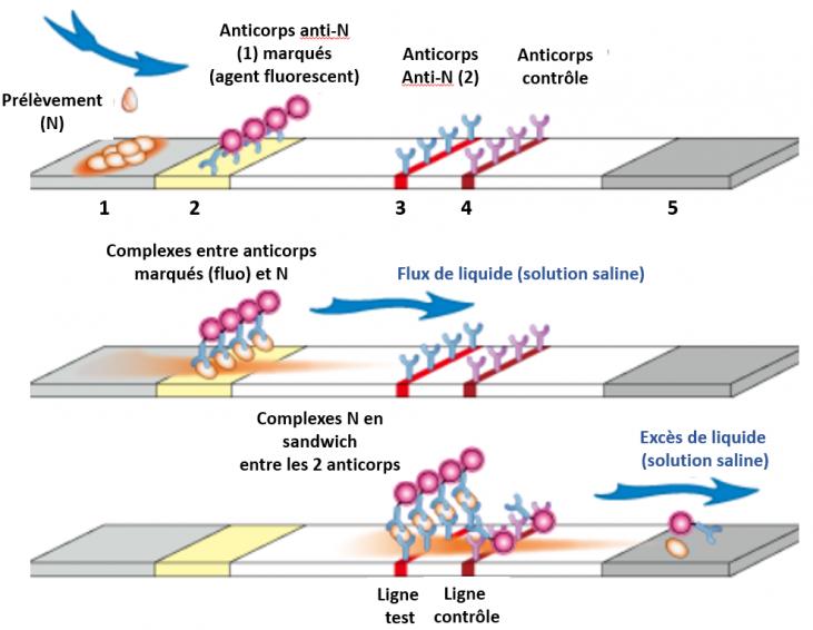 Test antigenique rapide