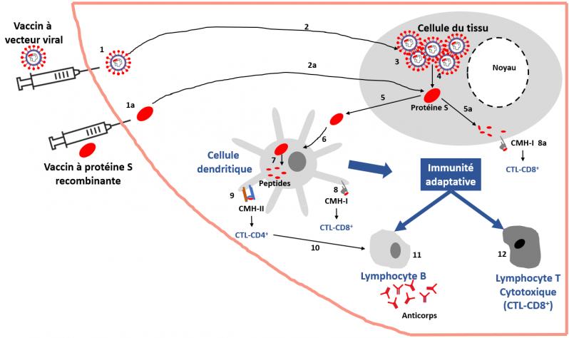 Vaccin vecteurs viraux ou proteine recombinante